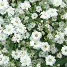 GYPSOPHILA SEEDS 1000+ BABY'S BREATH WHITE FLOWER garden ANNUAL