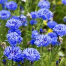 DWARF BLUE CORNFLOWER SEEDS 200+ BACHELOR BUTTON wildflower