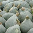 BLUE HUBBARD WINTER SQUASH SEEDS 10+ Vegetables GARDEN healthy