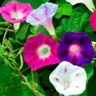 MORNING GLORY FLOWER SEEDS 30+ MIXED COLORS climber VINE annual