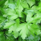 DARK GREEN FLAT LEAF ITALIAN PARSLEY SEEDS 500+ Herbs COOKING