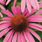 PURPLE CONEFLOWER ECHINACEA 200+ SEEDS perennial HERBS wildflowers
