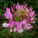 CLEOME SEEDS 100+ ROSE QUEEN FLOWER ANNUAL bees BUTTERFLY garden