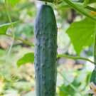 STRAIGHT EIGHT CUCUMBER SEEDS 50+ Vegetables COOKING culinary