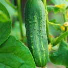 CUCUMBER SEEDS 50+ ASHLEY CUCUMBER hot weather Vegetable GARDEN