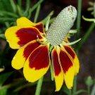 MEXICAN HAT FLOWER SEEDS 200+ RATIBIDA perennial CONEFLOWER garden