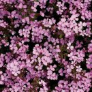 ROCK SOAPWORT SEEDS 500+ SAPONARIA perennial flower CREEPING groundcover PLANT