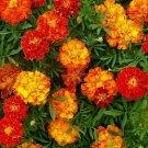 MARIGOLD SEEDS 100+ SPARKY MIX flower GARDEN annuals ORANGE yellow