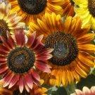 SUNFLOWER SEEDS 30+ AUTUMN BEAUTY MIX ANNUAL GARDEN BEES BIRD