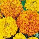 MARIGOLD FLOWER SEEDS 100+ CRACKER JACK MIX orange YELLOW annua