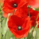 RED CORN POPPY SEEDS 1000+ PERENNIAL flower FLANDERS field POPPY