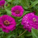 PURPLE PRINCE ZINNIA FLOWER SEEDS 100+ ANNUAL garden BIRDS bees