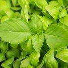 LEMON BASIL SEEDS 300+ garden Herbs cuisine CULINARY cooking