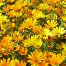AFRICAN DAISY MIX SEEDS 100+ ANNUAL FLOWERS bees BUTTERFLY garden