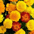 FRENCH MARIGOLD FLOWER SEEDS 100+ PETITE MIX GARDEN annuals BEES