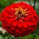 CHERRY QUEEN ZINNIA FLOWER SEEDS 100+ RED zinnnia ANNUAL garden