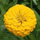 YELLOW ZINNIA FLOWER SEEDS 100+ CANARY BIRD GARDEN bees ANNUAL