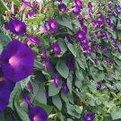 GRANDPA OTT MORNING GLORY SEEDS 30+ IPOMOEA annual FLOWER PURPLE