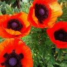 ORIENTAL POPPY SEEDS 500+ perennial flowers PAPAVER ORIENTALE