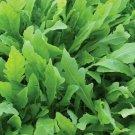 ARUGULA SEEDS 500+ ROCKET roquette VEGETABLE greens SURVIVAL salad