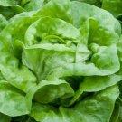 LETTUCE SEEDS 500+ WHITE BOSTON BUTTERHEAD LETTUCE GARDEN salad