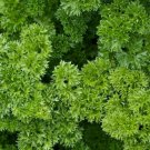 MOSS CURLED PARSLEY SEEDS 500+ Herb Garden COOKING spice CULINARY