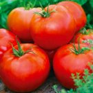 ACE 55 TOMATO SEEDS 100+ GARDEN culinary COOKING vegetables SAUCE