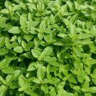 SPICY GLOBE BASIL SEEDS 300+ Herb garden CULINARY spice ANNUAL