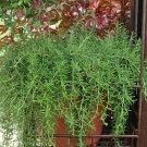 Rosemary Huntington Carpet aka ROSMARINUS  Live Plant Live Plant Fit 1GAL Pot