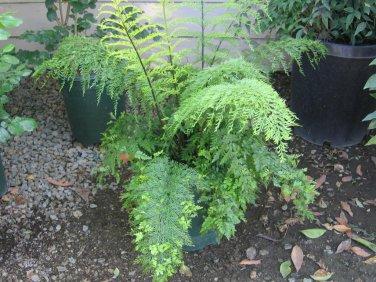 Mother Fern aka Asplenium bulbiferum Live Plant - Indoor Live Plant Fit 1GAL Pot