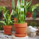 Snake Plant aka Mother-in-law's Tongue Live Plant - Indoor Live Plant Fit 1GAL Pot