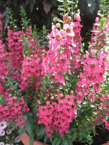 Angelonia Pink aka Angelonia angustifolia Live Plant - Indoor Live Plant Fit 1QRT Pot