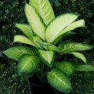 Dieffenbachia Marianne aka Dumbcane Live Plant - Indoor Live Plant Fit 1QRT Pot