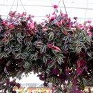 Wandering Jew Purple aka Tradescantia zebrina Live Plant - Indoor Live Plant Fit 1QRT Pot