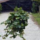 Oak Leaf Ivy aka Grape Ivy Live Plant - Indoor Live Plant Fit 1QRT Pot