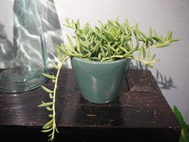 Fish Hooks aka Senecio radicans Live Plant - Indoor Live Plant Fit 1QRT Pot