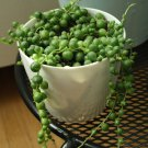 String of Pearls Hanging aka Senecio rowleyanus Live Plant - Indoor Live Plant Fit 1QRT Pot