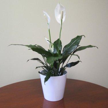 Spath Peace Lily aka Spathiphyllum Live Plant - Indoor Live Plant Fit 1QRT Pot
