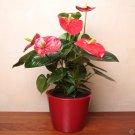 Anthurium aka Tailflower Live Plant - Indoor Live Plant Fit 1QRT Pot