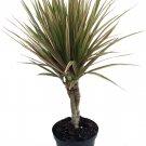 Dracaena BiColor aka Bicolor Dracaena Live Plant - Indoor Live Plant Fit 4IN Pot