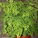Maidenhair Fern aka Adiantum Live Plant - Indoor Live Plant Fit 4IN Pot