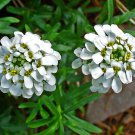 "IBERIS CANDYTUFT Live Plants Perennual Plants - 24 Live Plants From 2"""" Plug"
