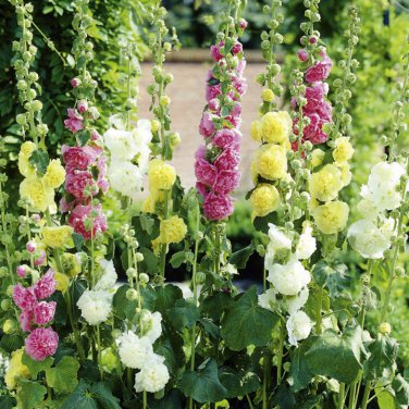 """Hollyhock Chaters Double Mix Live Plants Perennual Plants - 24 Live Plants From 2"""""""" Plug"""