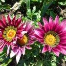 "GAZANIA DAYBREAK PINK Live Plants Groundcover Plant - 24 Live Plants From 2"""" Plug"