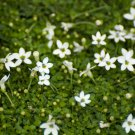 """ISOTOMA MINI WHITE Live Plants Groundcover Plant - 24 Live Plants From 2"""""""" Plug"""