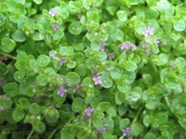 "MINT CORSICA Live Plants Groundcover Plant - 24 Live Plants From 2"""" Plug"