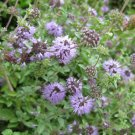 "PENNYROYAL Live Plants Groundcover Plant - 24 Live Plants From 2"""" Plug"