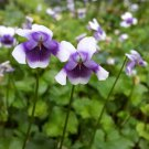 """VIOLA HEDERACEA Live Plants Groundcover Plant - 24 Live Plants From 2"""""""" Plug"""