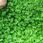 """BRASS BUTTONS MINI GREEN Live Plants Groundcover Plant - 24 Live Plants From 2"""""""" Plug"""