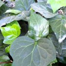 "IVY ALGERIAN Live Plants Groundcover Plant - 24 Live Plants From 2"""" Plug"